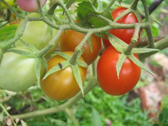 Roma tomatoes on a mature tomato plant.