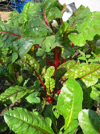Swiss chard colorful and tasty fertilized with worm tea.