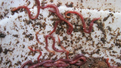 Worms crawling up the wall of their worm bin