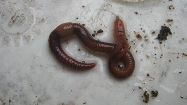 A mature compost worm