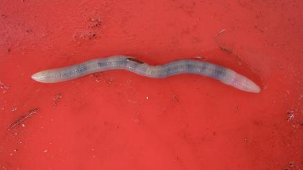 An endogeic earthworm that lives in topsoil and feeds on decaying organic matter in the ground.
