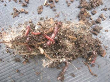 Worms amongst some dog hair from a worm farm