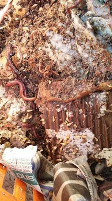 Unusual snails in a worm bin
